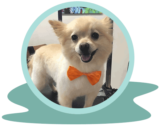 well-groomed small dog with bow-tie